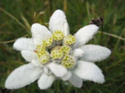 Edelweiss - Bring Me Edelweiss Tourist Mix