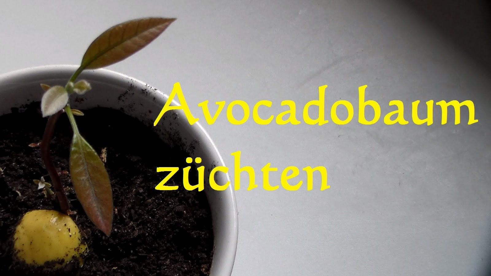 avocadobaum selber ziehen avocado z chten avocado einpflanzen how to grow avocado tree. Black Bedroom Furniture Sets. Home Design Ideas