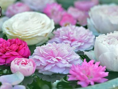Rosen im Juni-August durch Stecklinge vermehren.selber ziehen | Tutorial