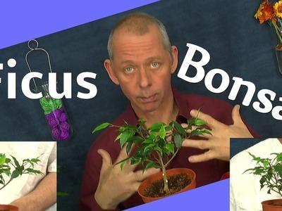 DIY Bonsai Ficus benjamini vom Steckling zum Bonsai